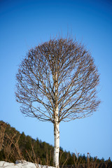 Birch tree on blue sky background at winter