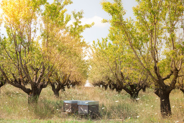 Beehives in the fruits tree garden in Provence, France