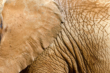 detail of the skin of an African elephant