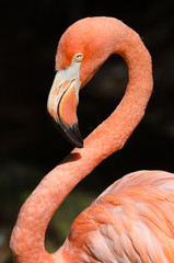 close up of a Caribbean flamingo in Brazil