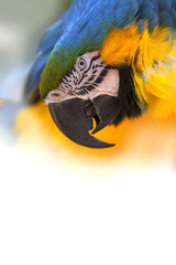 Portrait of a Blue-and-yellow Macaw in white back ground