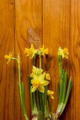 Young daffodils