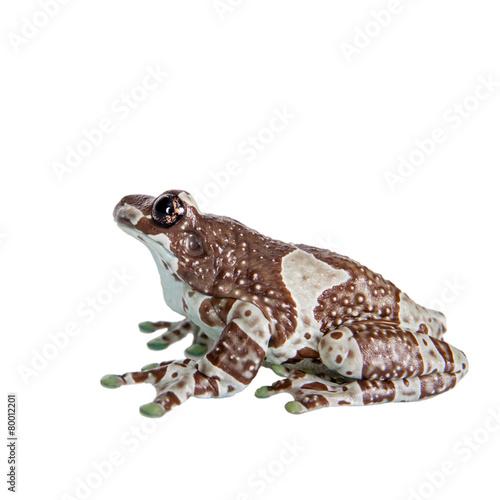 Foto op Canvas Kikker Amazon Milk Frog isolated on white