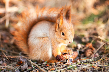 Red squirrel holding a fir cone