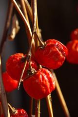 赤い実を乾燥