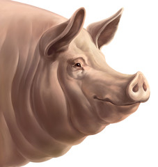 The head of pig, on a white background. Isolated object.
