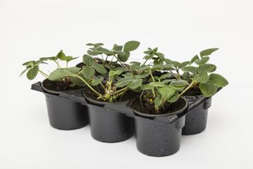 Erdbeergrünpflanzen - Fragaria