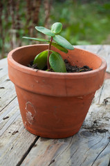 cactus en pot sur table en bois