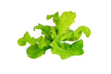 Green oak leaf lettuce isolated on white