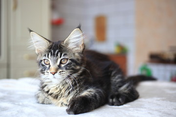 Cute Black tabby color Maine coon kitten