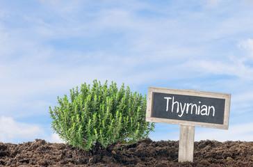 Thymian im Beet mit Namensschild