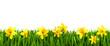 Wiese mit Osterglocken vor weißem Hintergrund