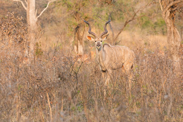 Big kudu bull graze among dead thorn shrub for leaves