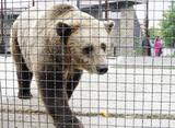 Brown bear in aviary, Safari Park Taigan, Crimea poster