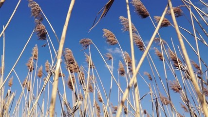 reeds swaying in the wind in summer