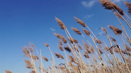 reeds swaying in strong winds in summer