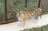 Tiger in aviary,Safari Park Taigan, Crimea. poster
