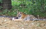 Playing tiger cub in aviary,Safari Park Taigan, Crimea. poster