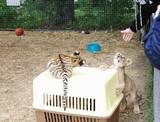 Tiger and lion cubs in aviary, Safari Park Taigan, Crimea. poster