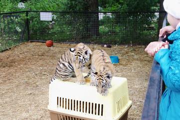Tiger cubs in aviary, Safari Park Taigan, Crimea.