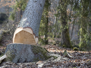 chute d'un arbre abattu en forêt par professionnel