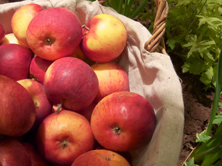 Harvested red and yellow apples in basket.