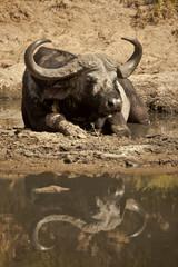 bufalo riflesso