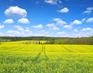 Spring landscape with rapeseed field