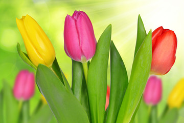 Purple, yellow and red tulip on green natural background