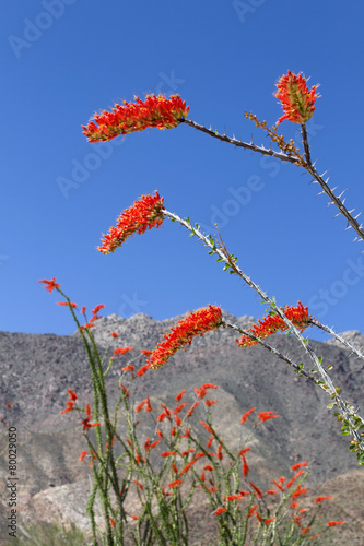 Foto op Canvas Cactus Ocotillo Flower in Bloom