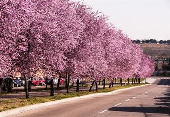 Avenue between rows of prunus