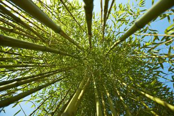 Bambus, Laubkrone