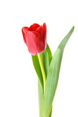 Beautiful red tulip. Isolated