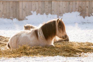 ponies having rest on a snow