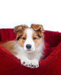 Puppy having rest in his sofa