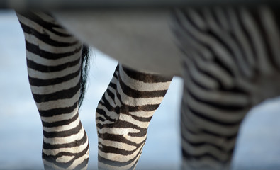 zebra  detail closeup