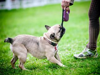 Dog pulling the leash