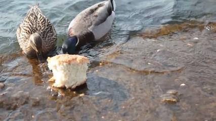 Two ducks eat bread