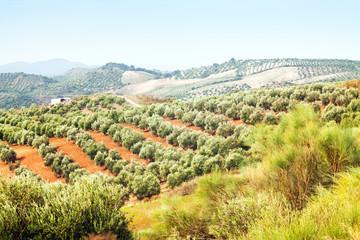 landscape with Olives plants
