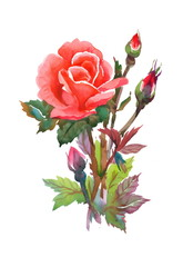 Watercolor red rose isolated on white background