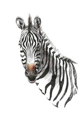 Watercolor zebra isolated on white background