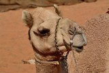 Camel head in front of sandy background