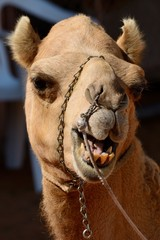 Funny face camel head in front of a dark background
