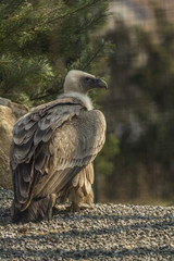 Griffon Vulture standing in the ground