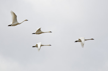 Four Tundra Swans Flying on a Light Background