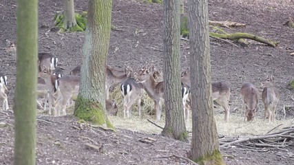Herd of fallow-deer females and fawns feeding with straw