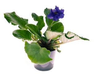 Violets blssom