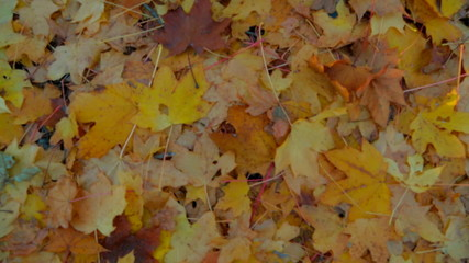 Yellow Leaves On The Ground In Forest