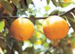 싱그런 열매