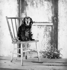 small senior pet dog sitting on antique chair by door.